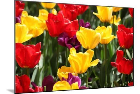 Amsterdam Tulips.-oscarcwilliams-Mounted Photographic Print