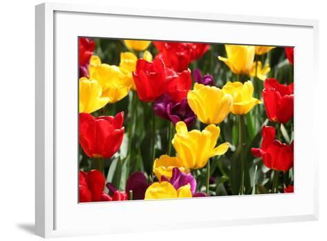 Amsterdam Tulips.-oscarcwilliams-Framed Art Print