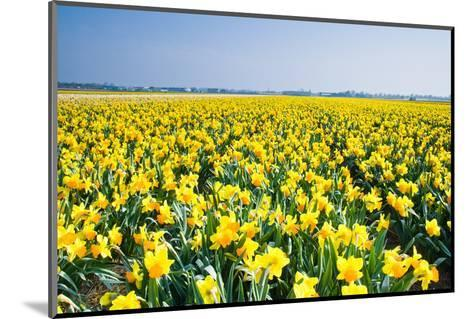 Field with Yellow Daffodils in April-Colette2-Mounted Photographic Print