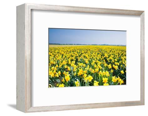 Field with Yellow Daffodils in April-Colette2-Framed Art Print