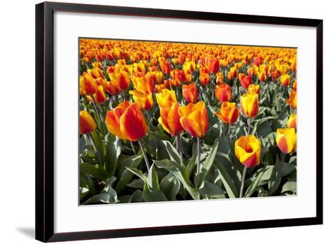 Dutch Tulip Fields in Springtime-picturepartners-Framed Art Print