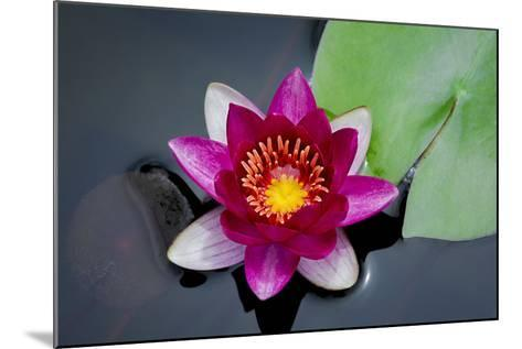 Water Lily-Michael Shake-Mounted Photographic Print