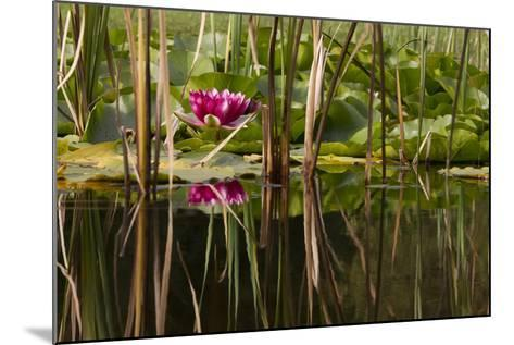 Water Lily in Pond-humbak-Mounted Photographic Print