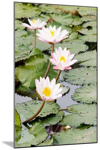 Water Lily (Lotus) and Leaf in Pond-chomnancoffee-Mounted Photographic Print