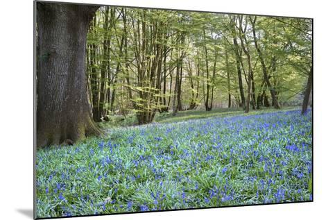 Bright Fresh Colorful Spring Bluebell Wood-Veneratio-Mounted Photographic Print