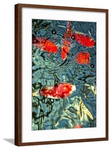 Orange Koi Fish- dtorroija-Framed Art Print