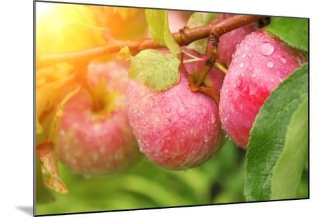 Rain Drops on Ripe Apples-frenta-Mounted Photographic Print
