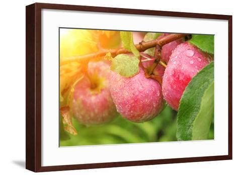 Rain Drops on Ripe Apples-frenta-Framed Art Print