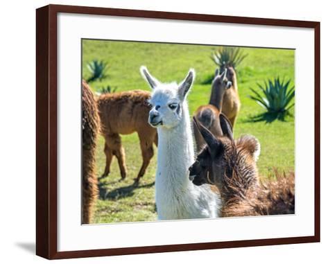 A Baby White Llama-Alanbrito-Framed Art Print