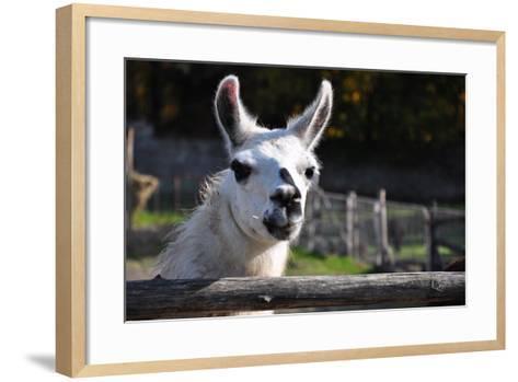 Portrait of A White Lama-cargol-Framed Art Print