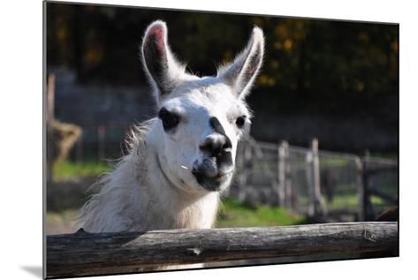 Portrait of A White Lama-cargol-Mounted Photographic Print