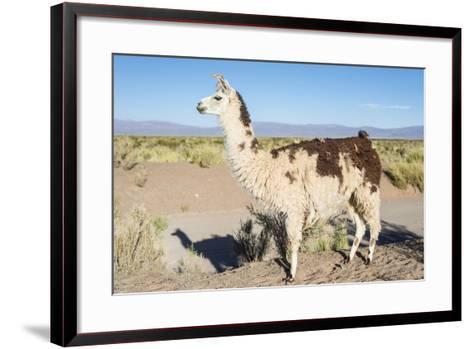 Llama in Salinas Grandes in Jujuy, Argentina.-Anibal Trejo-Framed Art Print