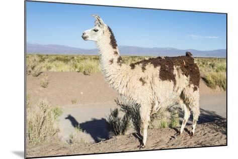 Llama in Salinas Grandes in Jujuy, Argentina.-Anibal Trejo-Mounted Photographic Print