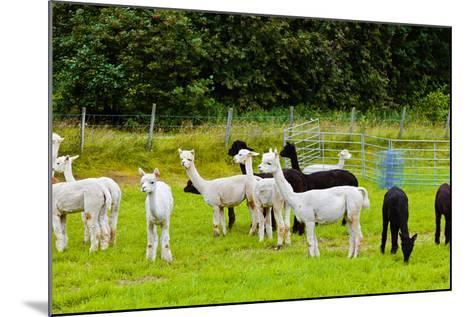 Llamas on Farm in Norway-Nik_Sorokin-Mounted Photographic Print