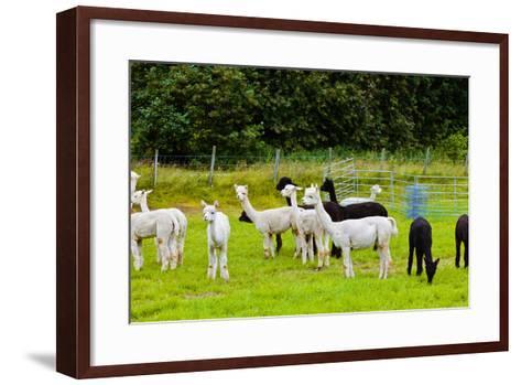 Llamas on Farm in Norway-Nik_Sorokin-Framed Art Print