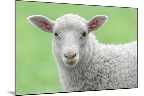 Face of A White Lamb-stefanholm-Mounted Photographic Print