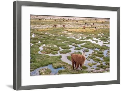 Llamas in the Mountains near Paso De Jama, Argentina-Chile-xura-Framed Art Print