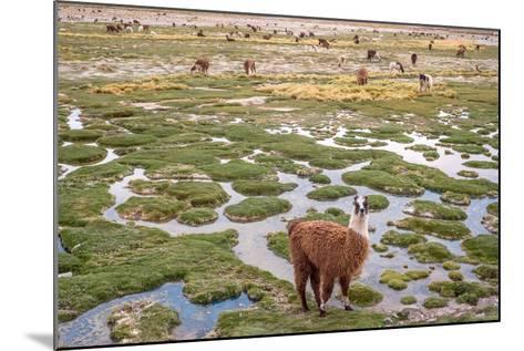 Llamas in the Mountains near Paso De Jama, Argentina-Chile-xura-Mounted Photographic Print