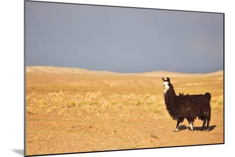 South American Llama-zanskar-Mounted Photographic Print