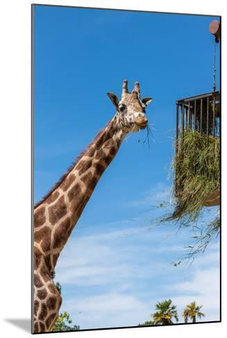Giraffe Eating in Zoo on a Background of Blue Sky-master1305-Mounted Photographic Print