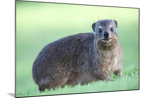Cute Rock Hyrax Animal-Four Oaks-Mounted Photographic Print