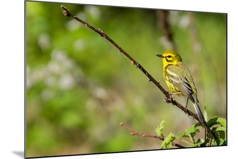 Prairie Warbler-Jay Ondreicka-Mounted Photographic Print