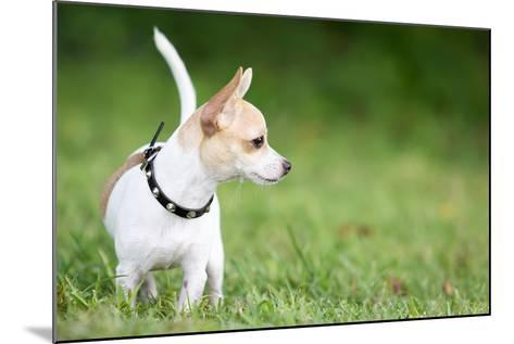 Small Chihuahua Dog Standing on a Green Grass Park with a Shallow Depth of Field-Kamira-Mounted Photographic Print