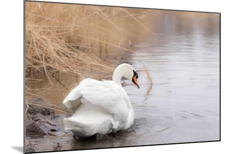 Lone White Swan Looking Back at Onlooker-beyond_a_snapshot-Mounted Photographic Print