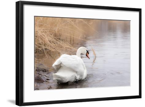 Lone White Swan Looking Back at Onlooker-beyond_a_snapshot-Framed Art Print