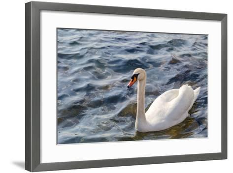 Swan in the Water-Massimiliano Ranauro-Framed Art Print