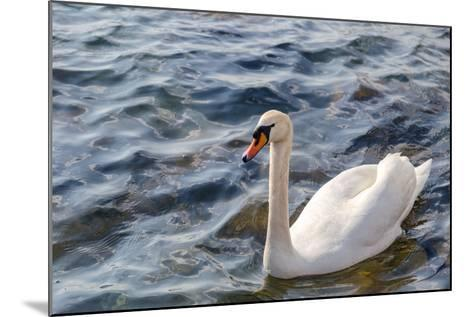 Swan in the Water-Massimiliano Ranauro-Mounted Photographic Print