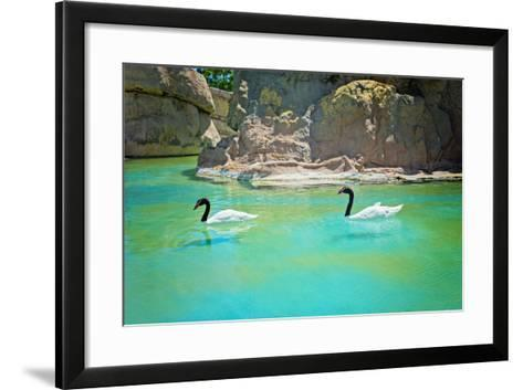 Two Black-Necked Swans-anytka-Framed Art Print