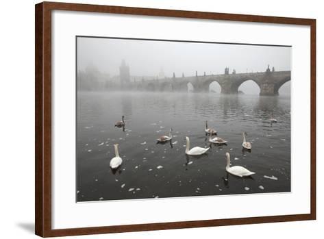 Morning Fog over Swimming Swans and the Charles Bridge in Prague, Czech Republic.-wrangel-Framed Art Print