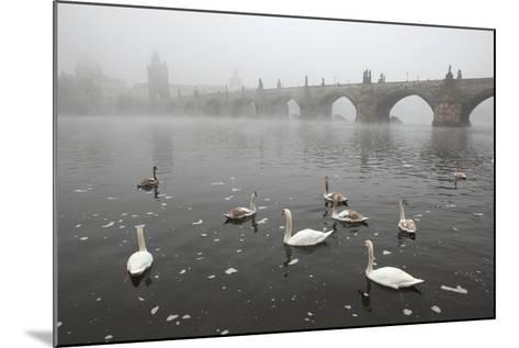 Morning Fog over Swimming Swans and the Charles Bridge in Prague, Czech Republic.-wrangel-Mounted Photographic Print