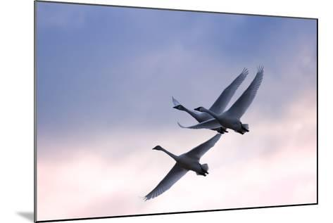 Tundra Swans in Flight-Delmas Lehman-Mounted Photographic Print