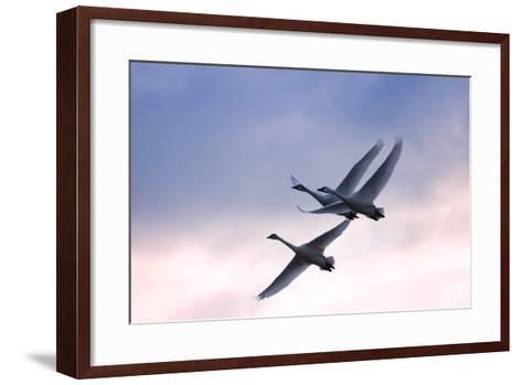 Tundra Swans in Flight-Delmas Lehman-Framed Art Print