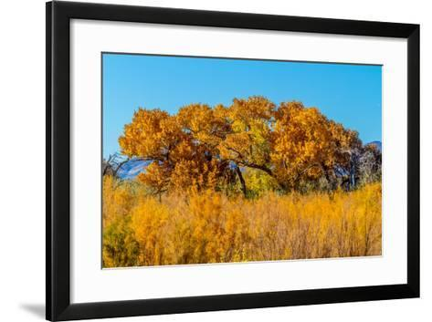 Beautiful Fall Foliage on Cottonwood Trees along the Rio Grande River in New Mexico.-Richard McMillin-Framed Art Print