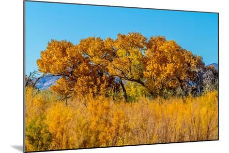 Beautiful Fall Foliage on Cottonwood Trees along the Rio Grande River in New Mexico.-Richard McMillin-Mounted Photographic Print