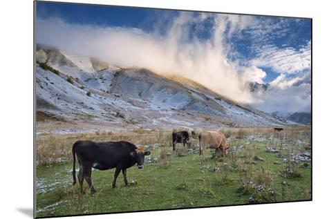 Herd of Cows in a Pasture in the Mountains. Autumn Landscape with the First Snow. Mountain Shkhara-Kotenko-Mounted Photographic Print