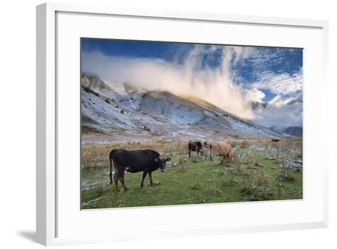 Herd of Cows in a Pasture in the Mountains. Autumn Landscape with the First Snow. Mountain Shkhara-Kotenko-Framed Art Print
