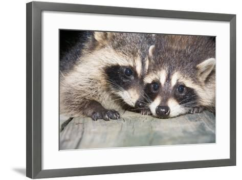 Tw Baby Raccoon-EEI_Tony-Framed Art Print