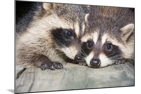 Tw Baby Raccoon-EEI_Tony-Mounted Photographic Print