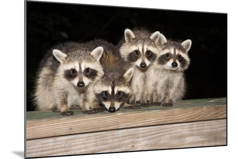 Four Cute Baby Raccoons on A Deck Railing-EEI_Tony-Mounted Photographic Print
