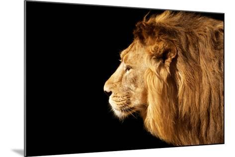 Side Face Portrait of a Beautiful Young Asian Lion, Isolated on Black Background.-olga_gl-Mounted Photographic Print
