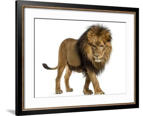 Side View of a Lion Walking, Looking Down, Panthera Leo, 10 Years Old, Isolated on White-Life on White-Framed Art Print