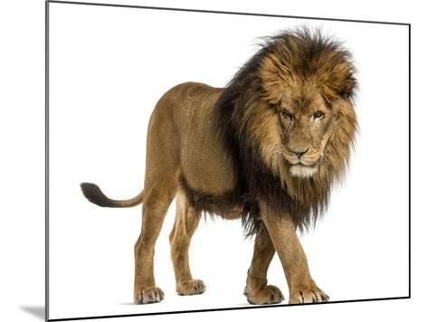 Side View of a Lion Walking, Looking Down, Panthera Leo, 10 Years Old, Isolated on White-Life on White-Mounted Photographic Print