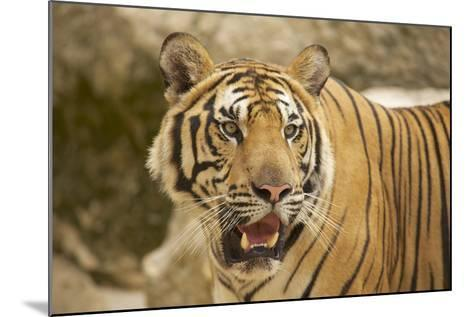Adult Indochinese Tiger.-Dmitry Chulov-Mounted Photographic Print