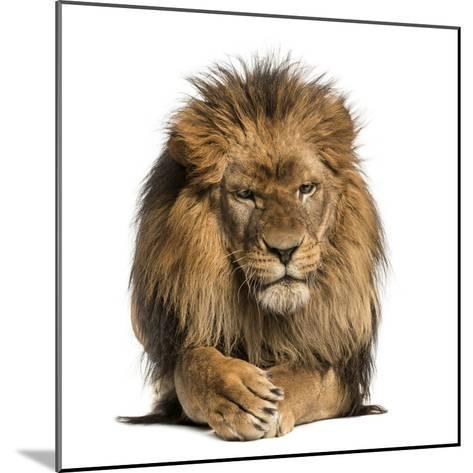 Front View of a Lion Lying, Crossing Paws, Panthera Leo, 10 Years Old, Isolated on White-Life on White-Mounted Photographic Print