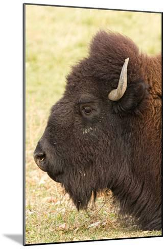 Bison Headshot Profile-Striking-Photography-Mounted Photographic Print