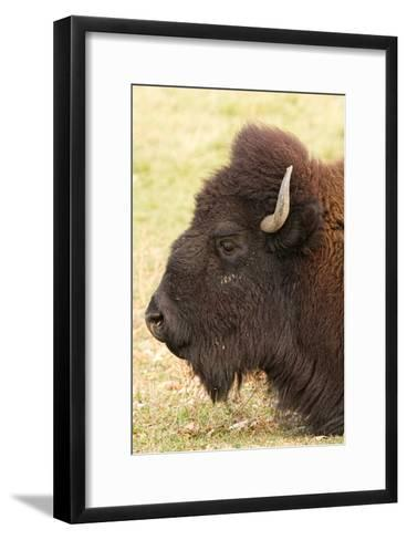 Bison Headshot Profile-Striking-Photography-Framed Art Print